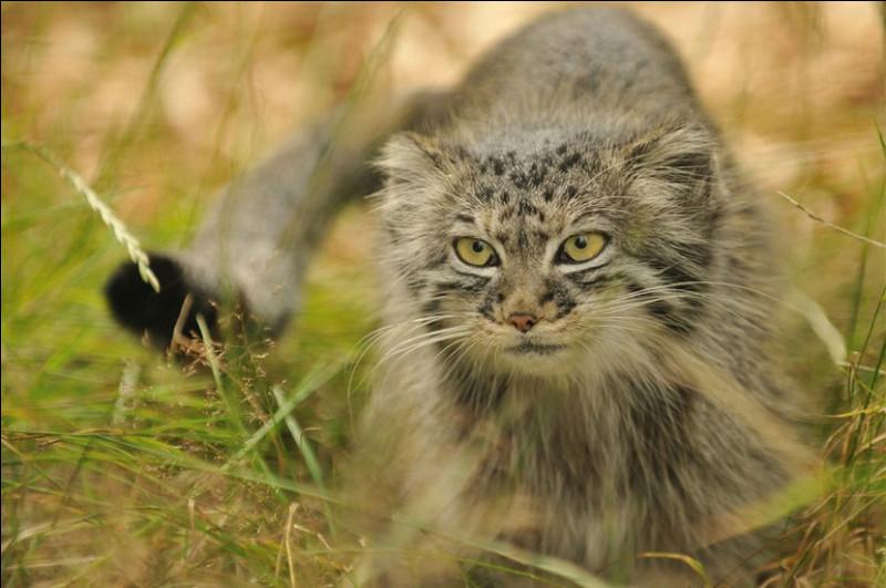 Chat de Pallas ou chat des steppes, ce petit félin sauvage vit en Asie, spécialement en Mongolie et en Sibérie.