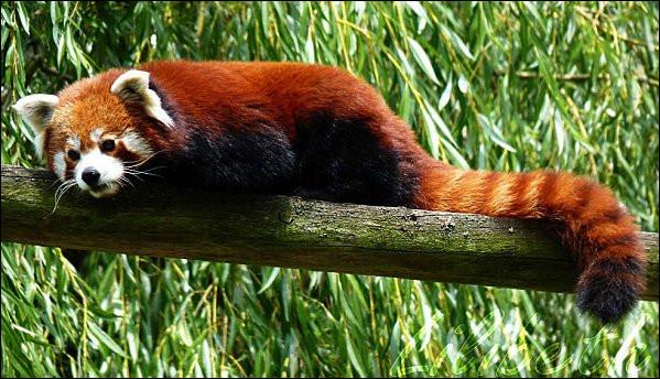 Quel est cet animal surnommé ''renard de feu'' en Chine ?