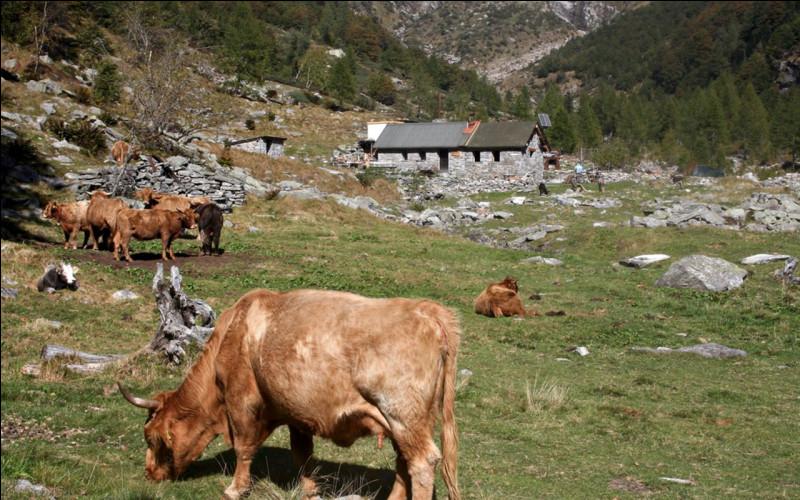 En Suisse, pâturage ou pré d'altitude moyenne avec bâtiment, où les troupeaux séjournent au printemps et à l'automne :