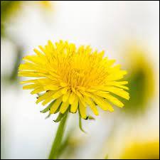 Comment s'appelle cette fleur qui porte également le nom de dent-de-lion ?