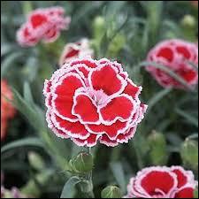 Quel est le nom de cette fleur dont les pétales sont généralement dentés ?
