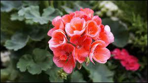 Comment s'appelle cette fleur qui s'avère efficace pour repousser les moustiques ?