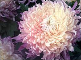 Comment se nomme cette fleur emblématique de la Toussaint ?
