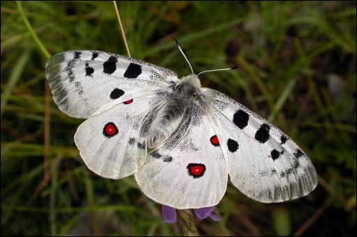 Animaux : Quel papillon diurne des montagnes d'Europe et d'Asie a les ailes postérieures ocellées de rouge ?