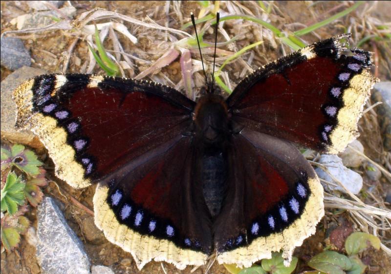 Ce papillon est un :