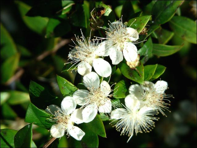 Arbuste à petites feuilles persistantes et à fleurs blanches odorantes :