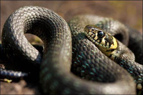 """Et comment est-ce que l'on fait pour dire """"serpent"""" ? (Question intruse, car ce n'est pas un animal de la ferme !)"""