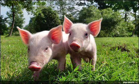 """Et le """"cochon"""", comment le dit-on, en anglais ?"""