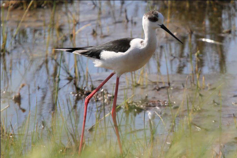 Quel est cet oiseau échassier noir et blanc aux longues pattes, vivants dans les étangs, les rizières, les salines et les lagunes ?