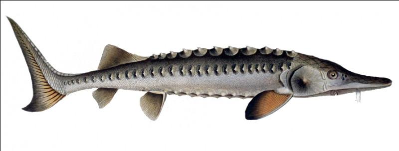 Quel est ce poisson avec un museau à barbillons sensitifs qui vit en mer et se reproduit en eau douce. On élabore le caviar à partir de ses oeufs ?