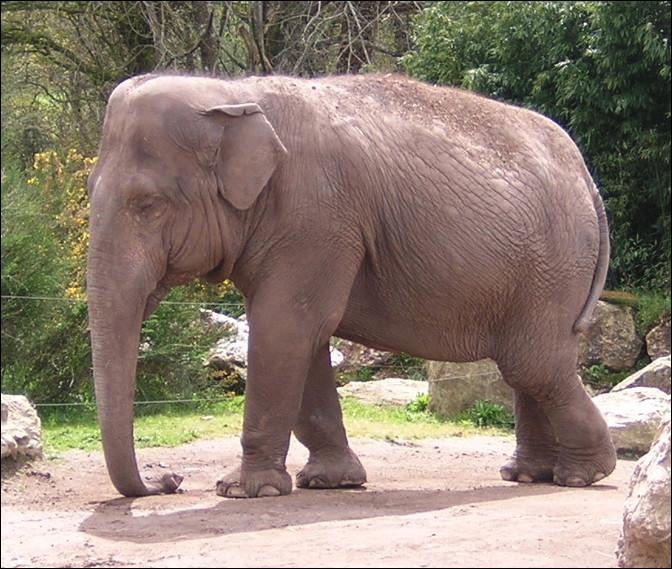 Quel est cet animal, le plus petit des éléphants avec de petites oreilles, deux bosses sur le crâne, un seul doigt de préhension au bout de sa trompe ?