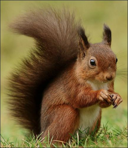 Quel est ce petit rongeur avec une queue touffue qui s'acharne à faire des provisions pour l'hiver ?