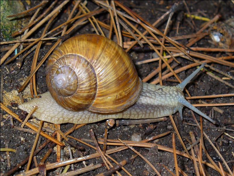 Quelle est ce gros gastéropode à coquille qui vit en milieu terrestre, variété la plus consommée en France ?
