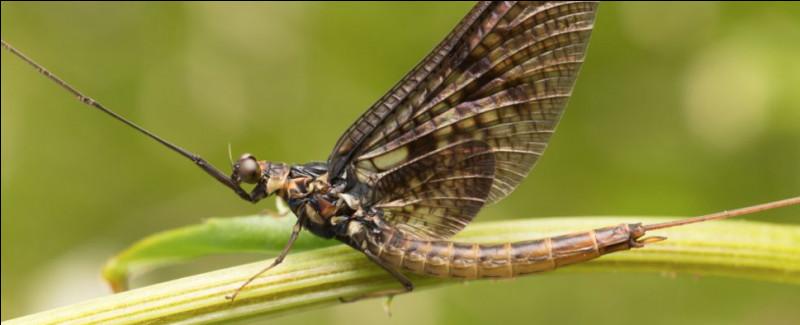 Quel est cet insecte qui ressemble à une libellule et dont la vie à l'état adulte ne dure qu'un jour ?