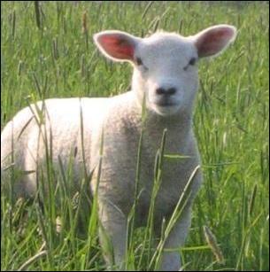 Comment s'appelle le petit du mouton ?