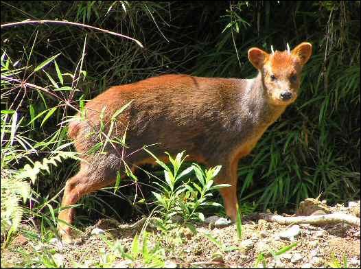 Très petits cervidés des forêts humides d'Amérique du Sud, le long de la cordillère des Andes :