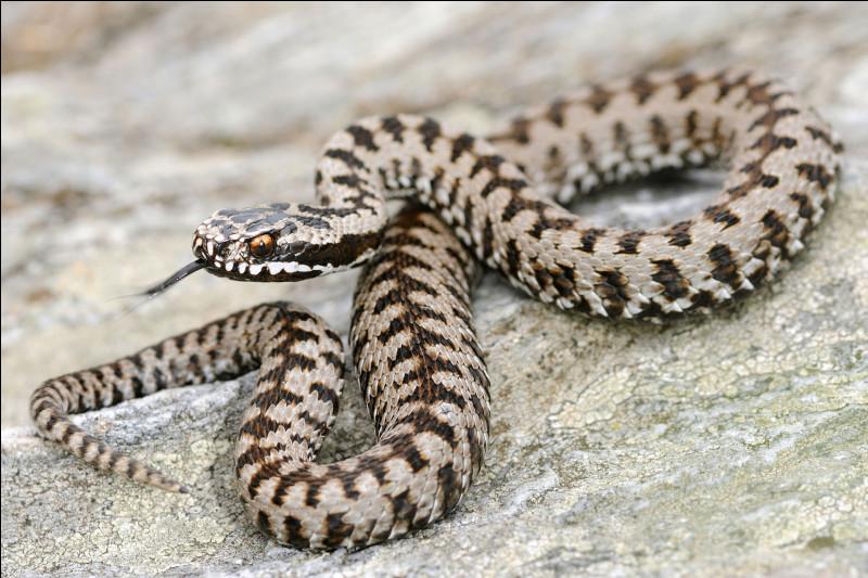 """Quelle espèce de serpent peut être """"du Gabon"""" ou """"péliade"""" ?"""