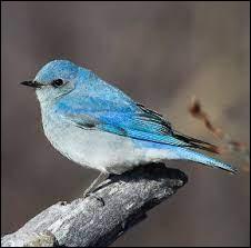 Quel est le nom de cet oiseau bleu emblème des États américains de l'Idaho et du Nevada ?