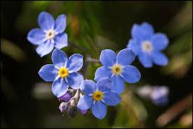 Quel est le nom de cette fleur aux pétales de couleur bleue ?