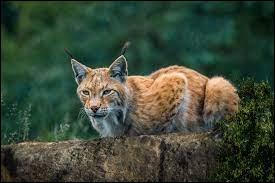 L : À quelle famille appartient le lynx ?