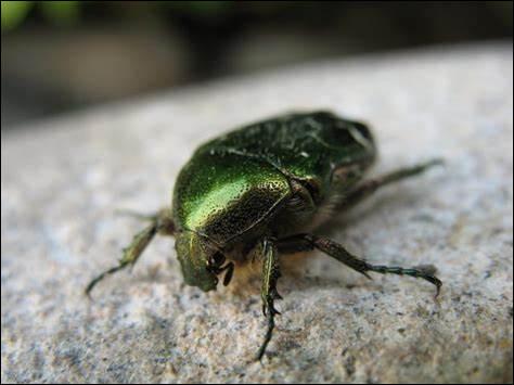 Est-ce que les scarabées peuvent voler ?