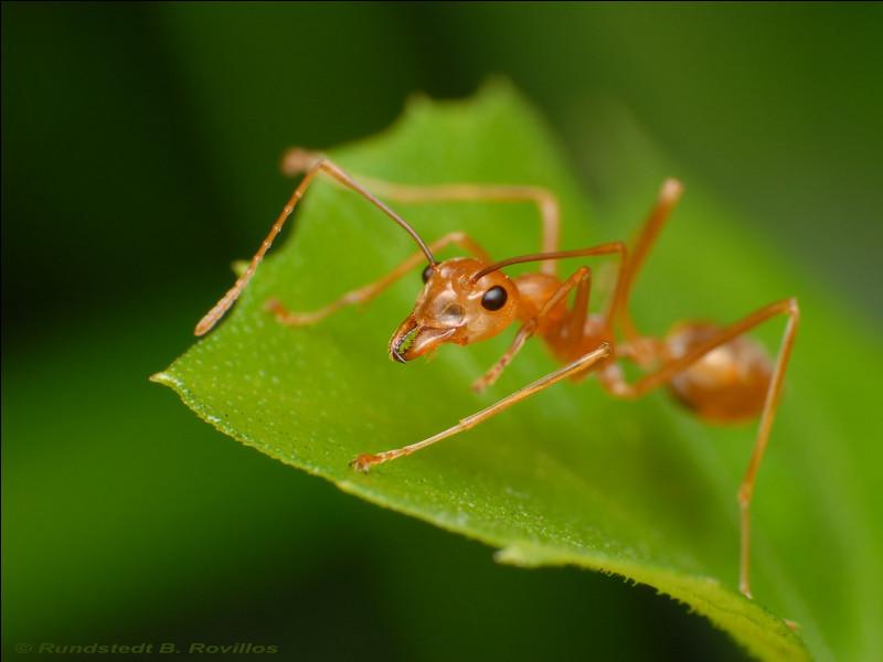 Combien de fois la fourmi tisserande peut-elle porter son propre poids ?