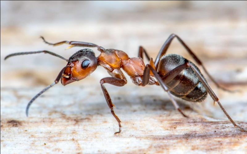 Quelle est l'espèce de fourmi la plus dangereuse ?