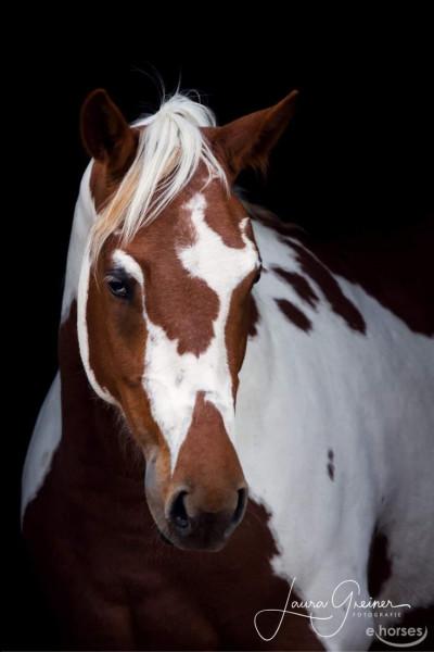 Quel est ce cheval dont on pourrait croire que la robe est peinte ?