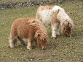 Quels sont ces poneys ?