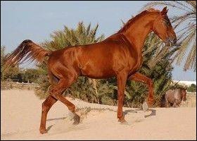 Quel est ce cheval oriental ?