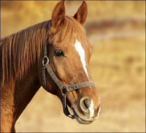 Quelles parties sont présentes sur la tête de ton cheval ?