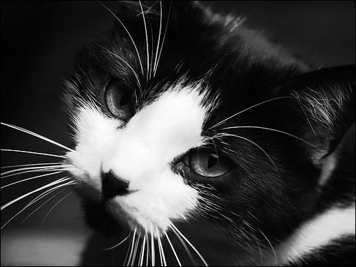 """Ce chat, génie du cinéma, a réalisé et joué dans de nombreuses comédies, telles que """"Le Kid"""" et """"Les Temps modernes""""."""