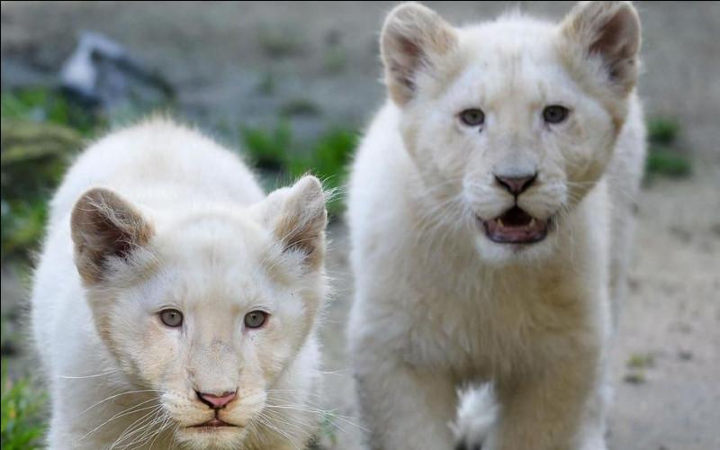 Les lions blancs sont des lions albinos.