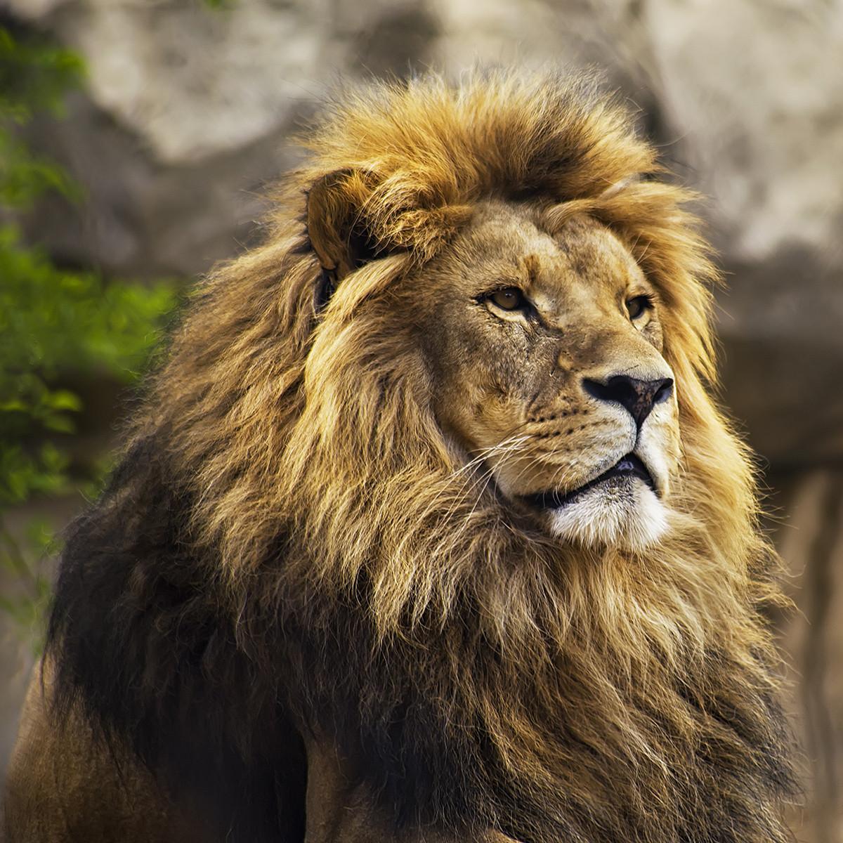 Autour des lions