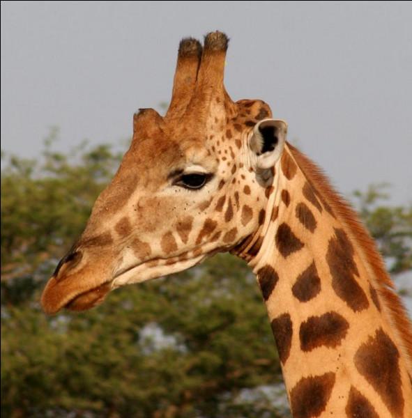 Et trotte trotte la girafe - et claquent claquent ses sabots !