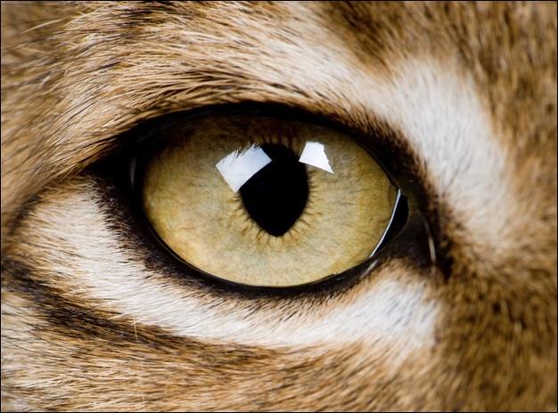Que signifie «avoir un œil de lynx» ?