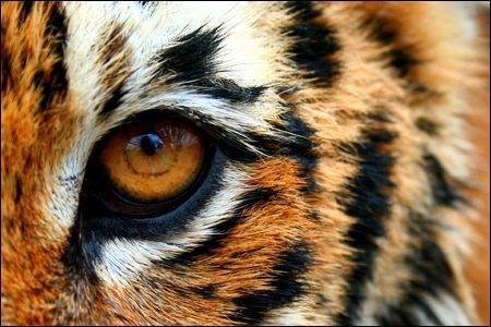 Une pierre précieuse orange et noire a le nom de l'œil d'un félin, lequel ?