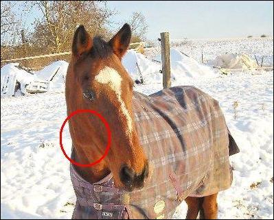 Comment se nomme l'endroit entouré en rouge sur la tête de ce joli cheval ?