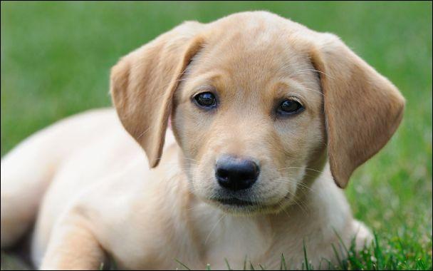 Les chiens transpirent et c'est pour ça qu'ils halètent.