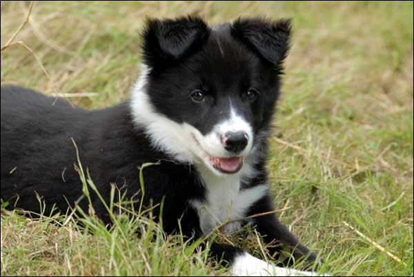 Golden Retriever et Labrador sont les mêmes races de chiens.