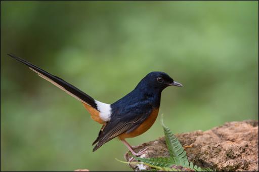 Oiseau de l'ordre des passereaux d'Asie :