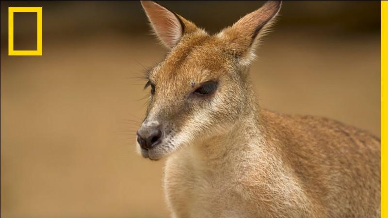 Pourquoi les kangourous ont-ils des poches ?