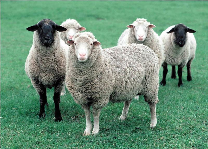 Matière grasse que sécrète la peau du mouton et qui imprègne sa laine.
