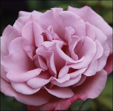 Quelle célébrité a donné le nom de cette rose ?
