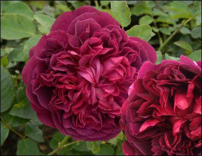 Quelle célébrité ou personnage/mythe a donné le nom de cette rose ?