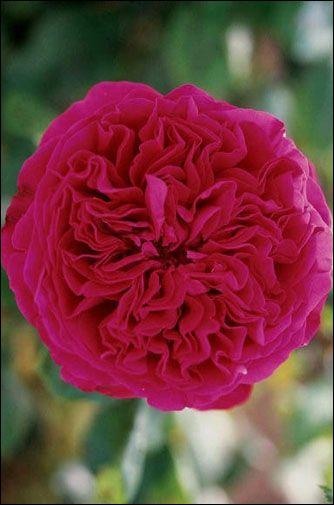Quelle célébrité ou mythe a donné le nom de cette rose ?