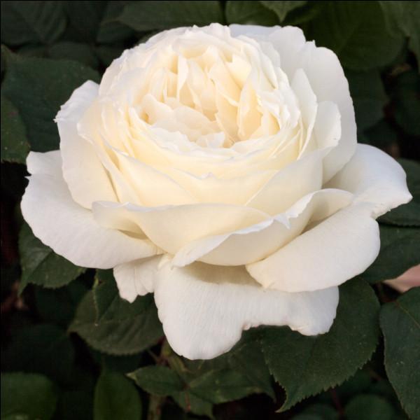 Comment se nomme cette rose ?