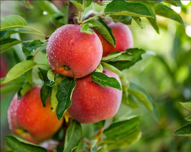 Combien de temps faut-il à un pommier pour produire des pommes comestibles ?