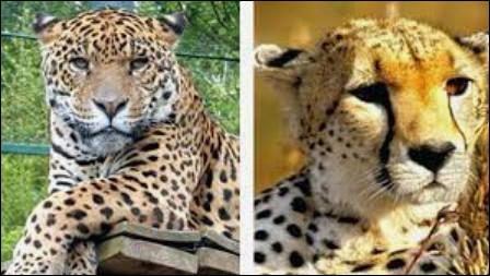 Le léopard et le guépard ! Où est le léopard ?