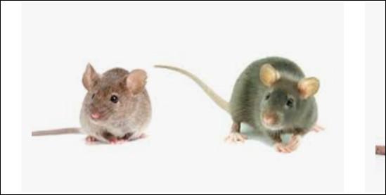 Le rat et la souris ! Où est la souris ?